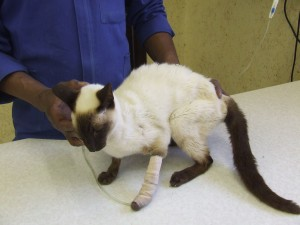 Kidney failure can occur with cats with feline AIDS