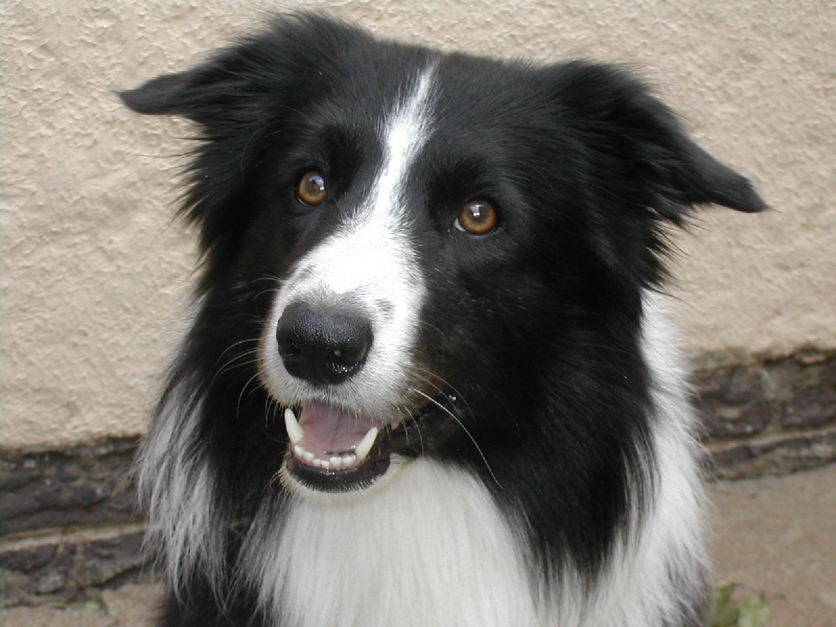 """Those dogs bred for the conformation ring must have a """"keen and"""