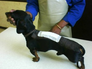A dachshund after a spinal operation to remove a slipped disc
