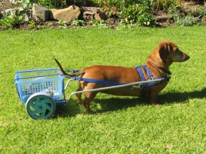 Dachshunds can be trained to pull carts and compete against each other