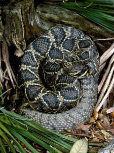 the rattlesnake causes many fatalities in the U.S. haemotoxic venom