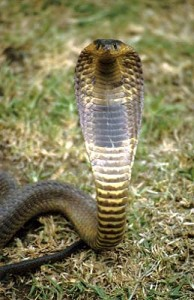 Rinkhals has a characterstic stripe on the underside of its neck