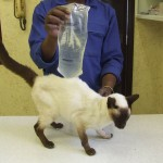 Siamese cats are prone to cancers.