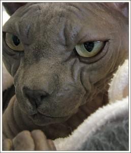 Sphynx cat physical appearance