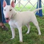 Bull terriers - prone to skin cancer