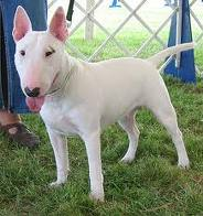 Bull terriers may have diarrhea from foreign bodies