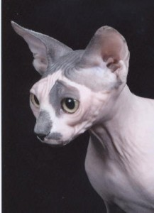 Sphynx cats physical characteristics