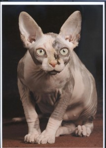 Spynx cats are almost hairless cats