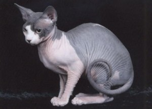 Care of the Sphynx cat
