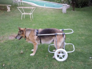 GSD with degenerative myelopathy to aid mobility
