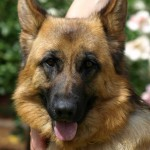 History origins of German Shepherd
