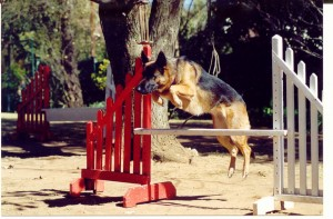 german shepherd jumping in agiity competition