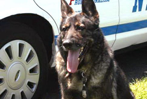 German shepherds worked at ground zero
