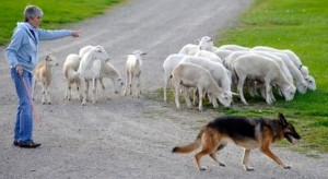 German shepherd herding sheep