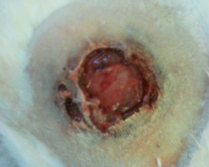 Photo of a cat skin abscess