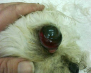 eyeball that has popped out