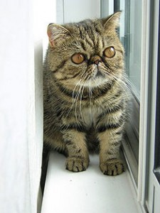 Breed of the month - Exotic shorthair