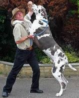 Great Danes are good family dogs