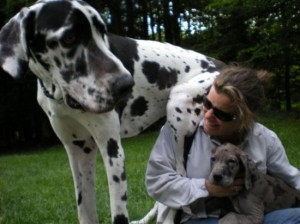 All about Great Danes