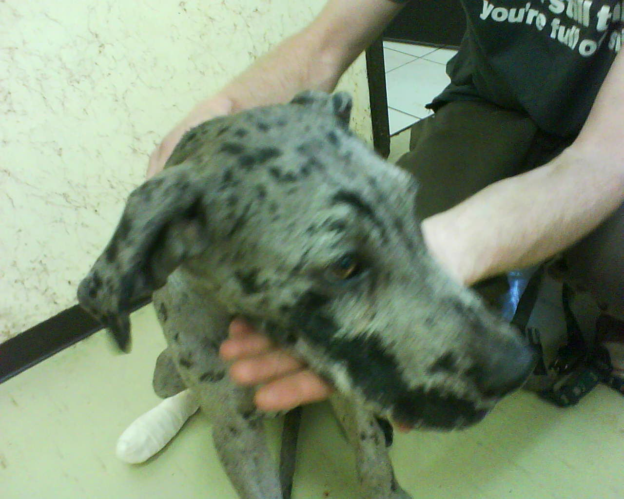 Great Dane Fawnequin Breed of the Month - T...