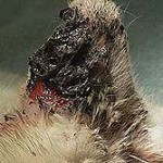 Squamous cell carcinoma SCC ear cat