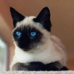 Traditional Siamese from Thailand