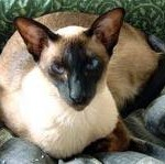 History of the Siamese