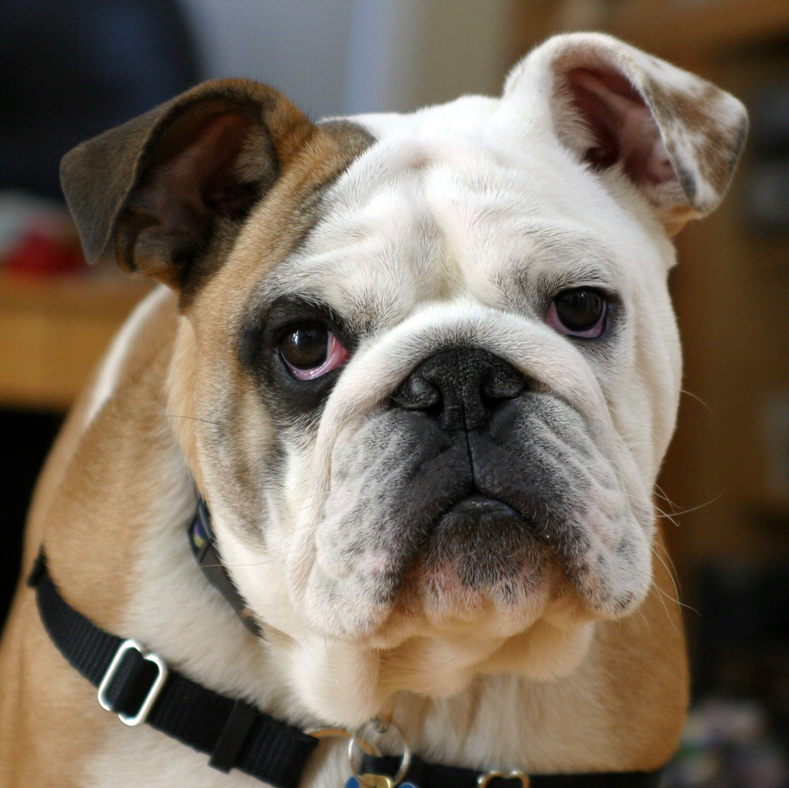 The general appearance of bulldogs