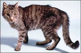 Hyperthyroid cats are often thin