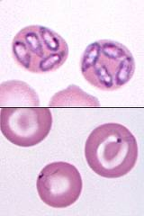 Parsites have divided inside the red blood cells