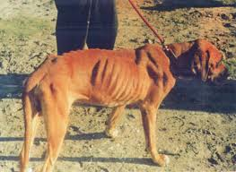 very thin dog with Babesia