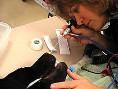 a rigid scope up a dog's nose