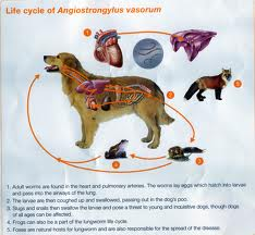 lungoworms in dogs