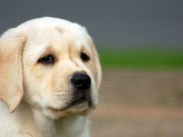 Diseases of dog breeds