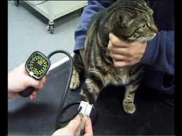 High blood pressure and kidney disease in cats