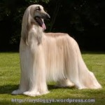 health problems afghan hounds