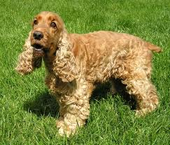 diseases cocker spaniel