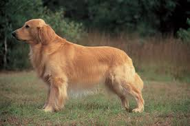breeds health issues golden retrievers