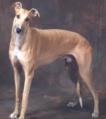 diseases of greyhounds