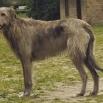 diseases and health probems of irish wolfhounds