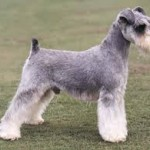 diseases of miniature schnauzers