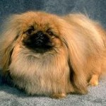 diseases of the pekingese