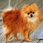 diseases illnessess toy poms pomeranians
