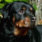 health problems rottweiler
