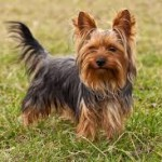 health problems yorkshire terriers