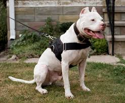 Training pitbulls