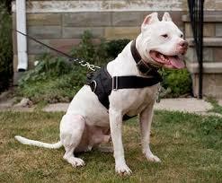 Training pitbulls